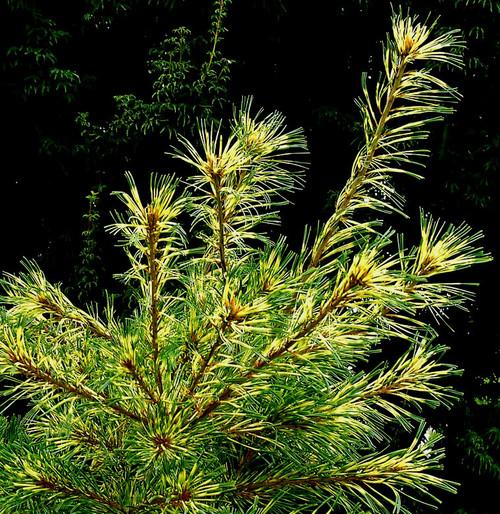 Pinus parviflora Ogon janome Variegated Japanese White Pine
