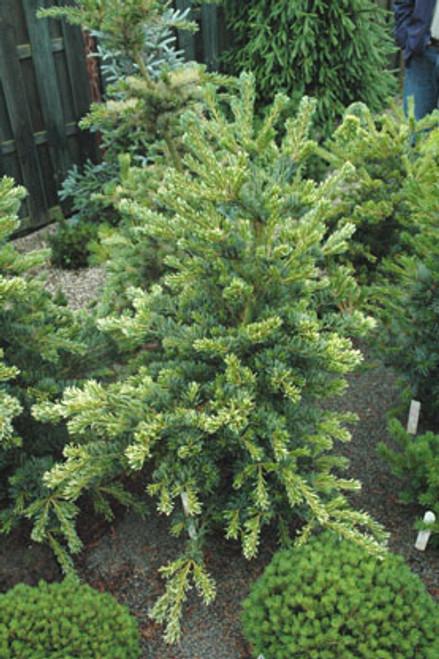 Pinus parviflora ' Fukai ' Variegated Japanese White Pine