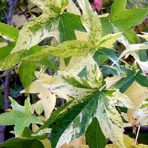 Variegated Sweet Gum