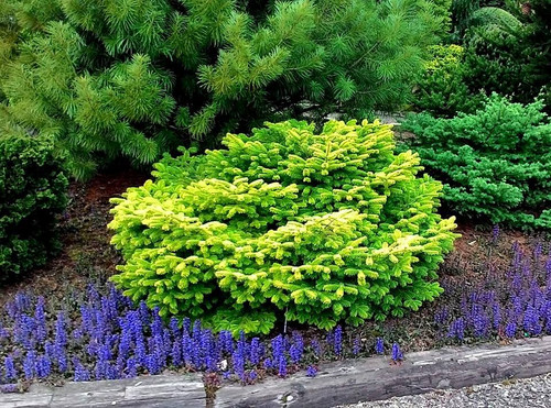 Spring Color Golden Spreader Dwarf Caucasian Fir