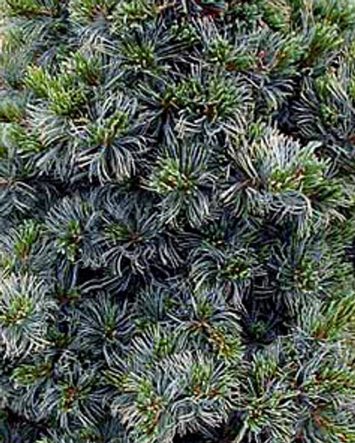 Gimborns Ideal Japanese White Pine