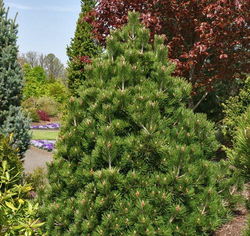 Pinus leucodermis (heldreichii) ' Irish Bell ' Dwarf Bosnian Pine