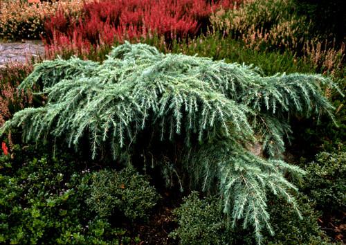 Weeping Blue Himalayan Cedar
