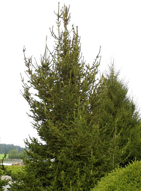 Conifers Spruces Picea Abies Norway Spruces Page 2 Kigi
