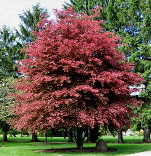 Fagus sylvatica ' Purpurea Tricolor ' Deep Purple Variegated Beech Tree
