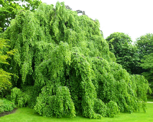Green Weeping European Beech Tree