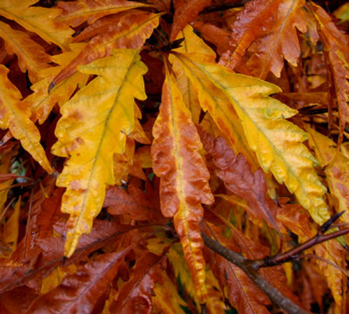 Fagus sylvatica ' Asplenifolia ' Green Cutleaf European Beech Tree Fall Color