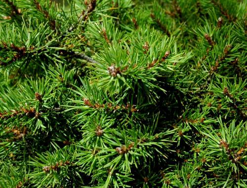 Pinus sylvestris ' Little Brolly ' Miniature Scot's Pine