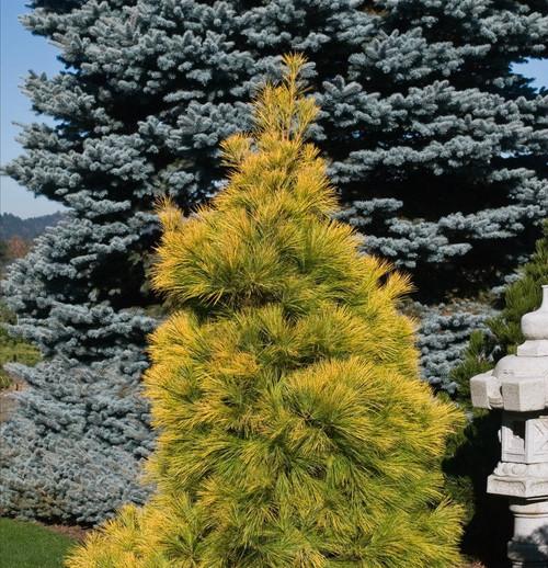 Pinus strobus Louie Golden White Pine