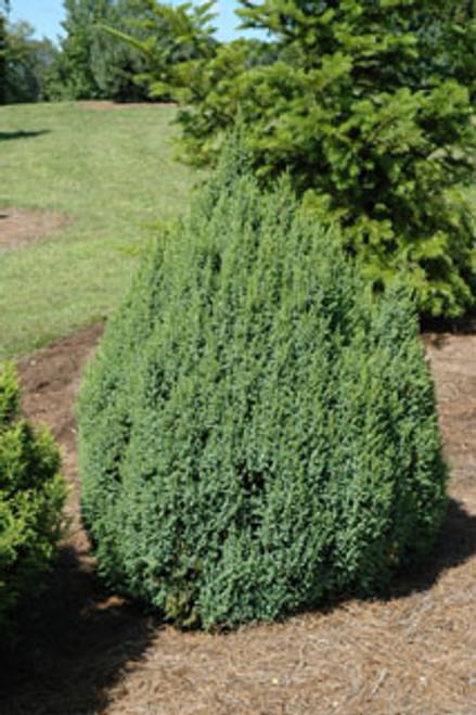 Juniperus squamata ' Loderi ' Dwarf Flaky Bark Juniper