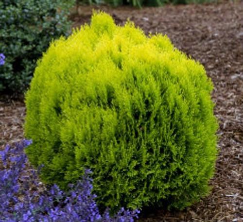 Thuja orientalis ' Morgan ' Golden Chinese Arborvitae