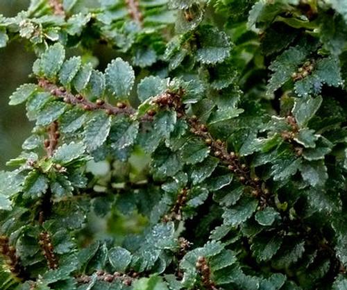 Ulmus parvifolia ' Hokkaido ' Miniature Chinese Elm Tree