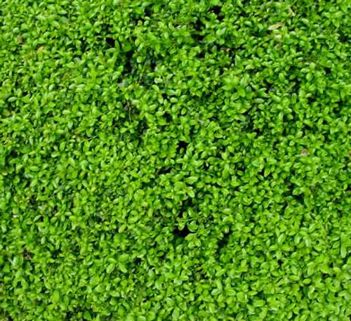 Buxus microphylla ' Compacta ' Miniature Japanese Boxwood
