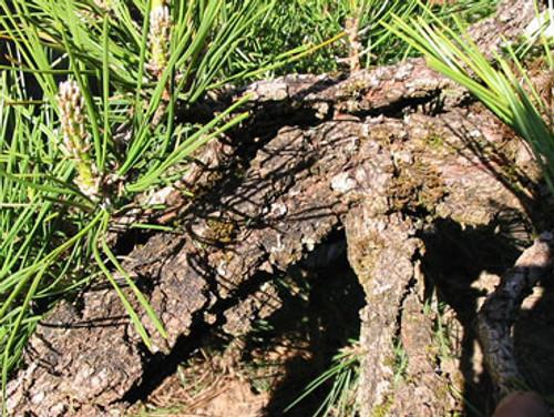 Pinus thunbergiana Ondai Dwarf Japanese Black Pine