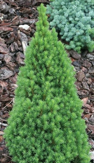 Picea glauca ' Zuckerhut ' Miniature Alberta Spruce