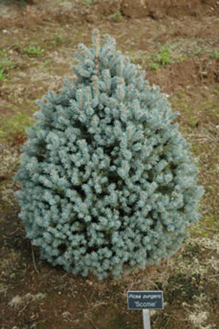 Picea pungens Scottie Dwarf Blue Spruce