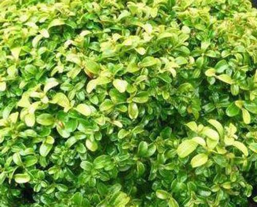 Think, Buxus microphylla var japonica morris midget