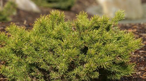 Pinus banksiana Manomet Dwarf Jack Pine