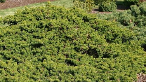 Pinus banksiana Schoodic Dwarf Jack Pine