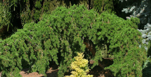 Pinus banksiana ' Uncle Fogy ' Contorted Weeping Jack Pine
