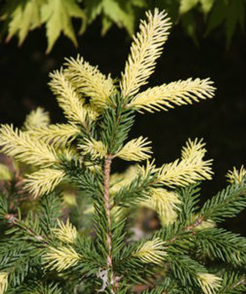 Picea abies Perry's Gold Golden Dwarf Norway Spruce