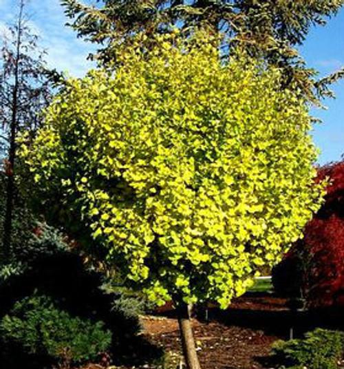 Ginkgo biloba ' Tschi tschi ' Dwarf Maidenhair Tree