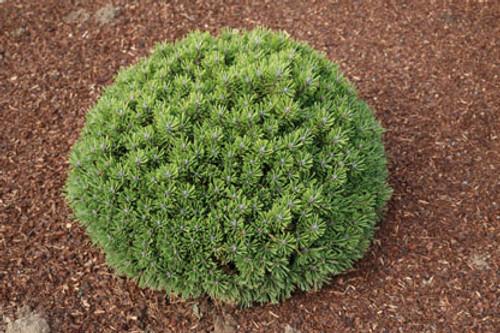 Pinus uncinata ' Hnijdo ' Miniature Mountain Pine