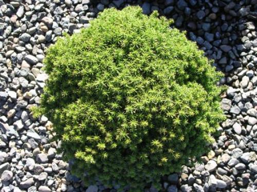 Cryptomeria japonica ' Compressa ' Dwarf Japanese Cedar