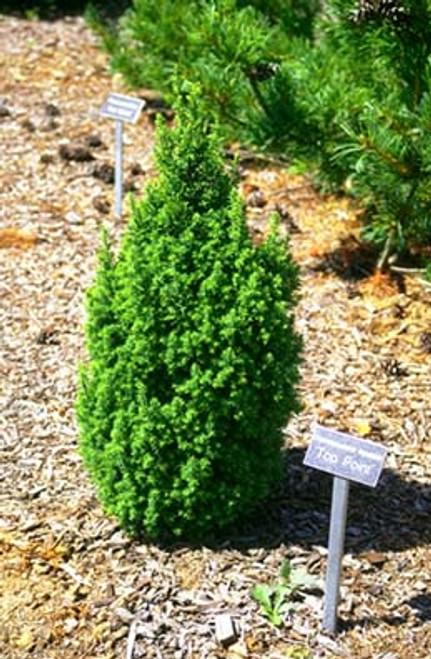 Chamaecyparis thyoides ' Top Point ' Dwarf Atlantic White Cypress