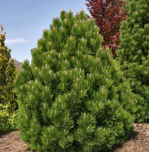 Mint Truffle Dwarf Bosnian Pine