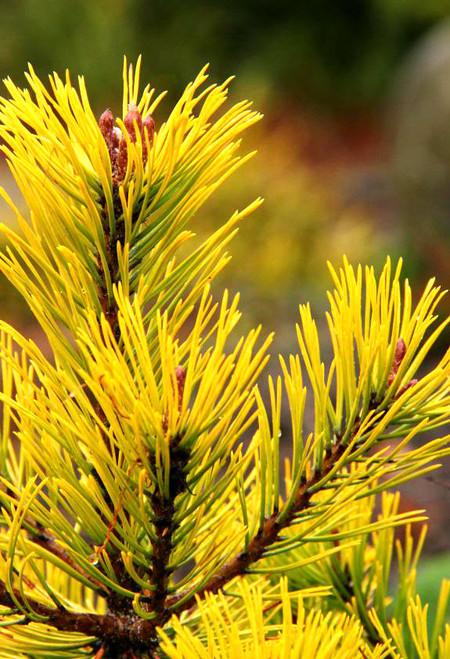 Ambergold Dwarf Golden Mugo Pine