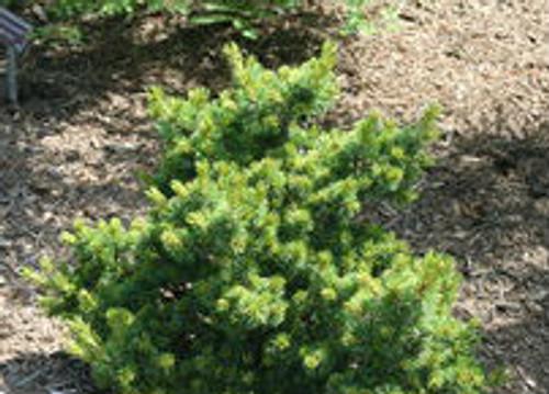 Pinus parviflora Hagoromo Dwarf Japanese White Pine