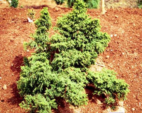 Cryptomeria japonica ' Tansu ' Dwarf Japanese Cedar