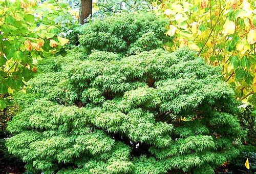 Dwarf Japanese Maple Bonsai