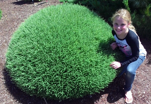 Emmy next to Mr. Bowling Ball Arborvitae