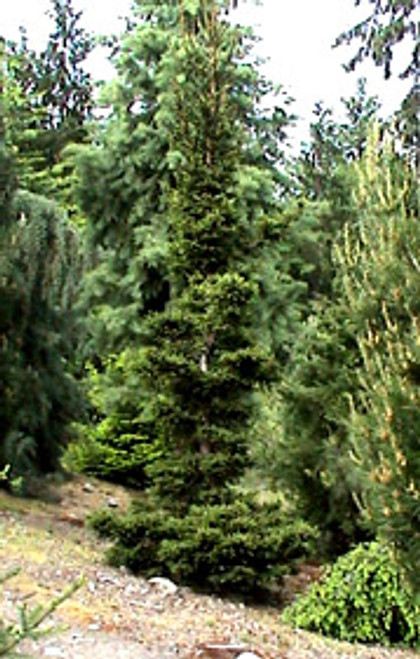 Picea abies ' Kluis ' Dwarf Narrow Norway Spruce