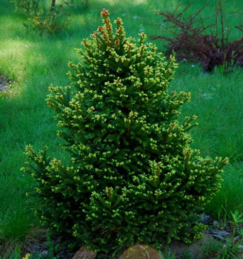 Picea Abies Ohlendorfii Dwarf Norway Spruce Kigi Nursery