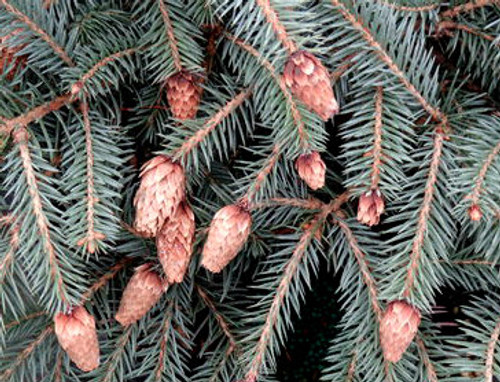 Picea pungens Early Cones Dwarf Colorado Blue Spruce