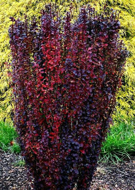 Berberis thunbergii Helmond Pillar Upright Red Japanese Barberry