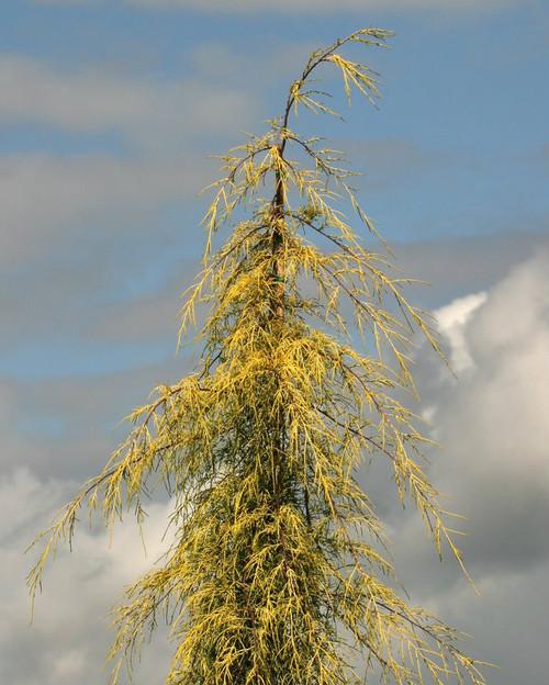 Cupressus macrocarpa Saligna Aurea Golden Weeping Monterey Cypress