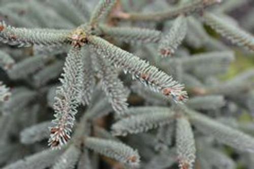 Picea glauca ' Caerulea ' Dwarf White Spruce