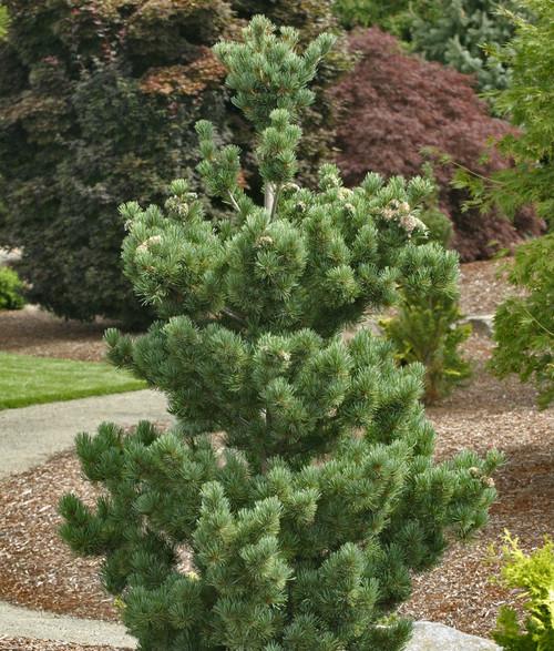 Pinus parviflora Aoi Japanese White Pine