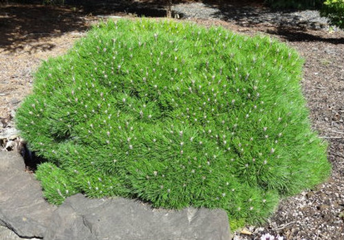 Pinus nigra Bambino Dwarf Austrian Pine