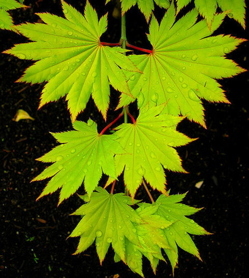 Buy Golden Shirasawa Maples Kigi Nursery