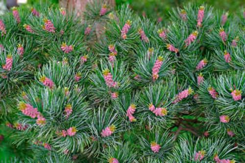 Pinus parviflora ' Glauca ' Blue Japanese White Pine