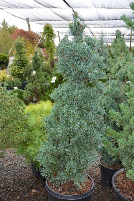 Pinus parviflora ' Templehof ' Japanese White Pine
