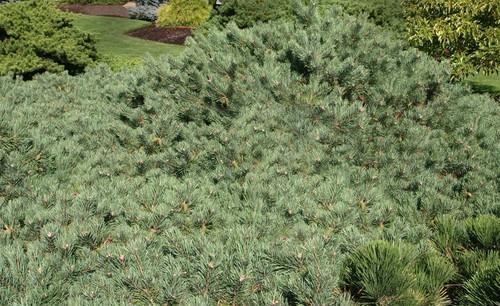Pinus sylvestris Albyn Prostrata Creeping Scot's Pine