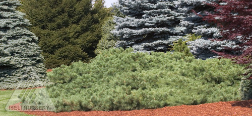 Pinus sylvestris ' Hillside Creeper ' Creeping Scot's Pine