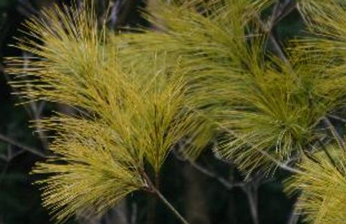 Pinus strobus ' Aurea ' Golden White Pine
