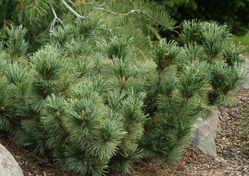 Pinus pumila Blue Dwarf Japanese Stone Pine